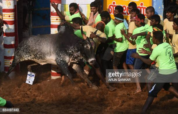An Indian bull charges a man during an annual bull taming event 'Jallikattu' in the village of Allanganallur on the outskirts of Madurai on February...