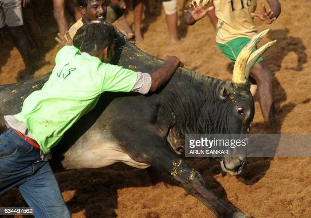 An Indian bull charges past a man during an annual bull taming event 'Jallikattu' in the village of Allanganallur on the outskirts of Madurai on...