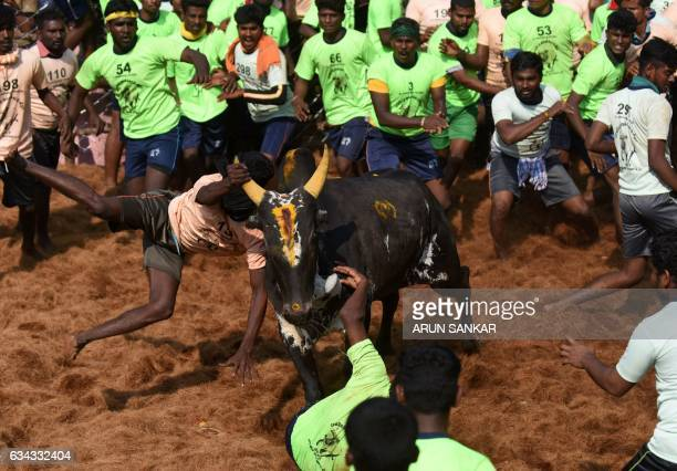 An Indian bull charges through a crowd of 'bullfighters' during an annual bull taming event 'Jallikattu' in the village of Palamedu on the outskirts...