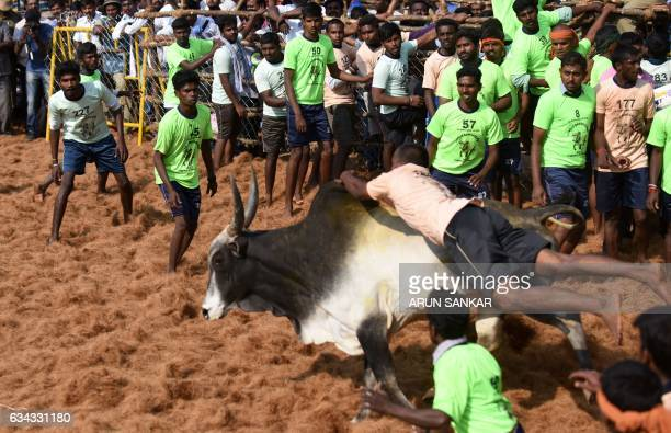 An Indian bull charges through a crowd of onlookers during an annual bull taming event 'Jallikattu' in the village of Palamedu on the outskirts of...