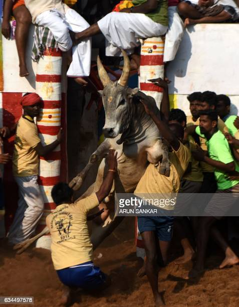 An Indian bull charges through participants during an annual bull taming event 'Jallikattu' in the village of Allanganallur on the outskirts of...
