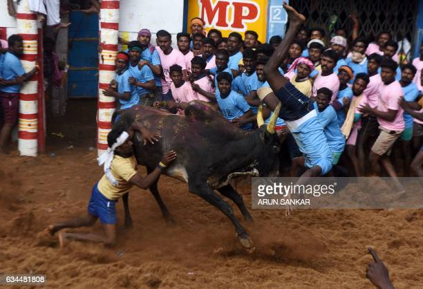 TOPSHOT An Indian bull flips a man as people watch during an annual bull taming event 'Jallikattu' in the village of Allanganallur on the outskirts...