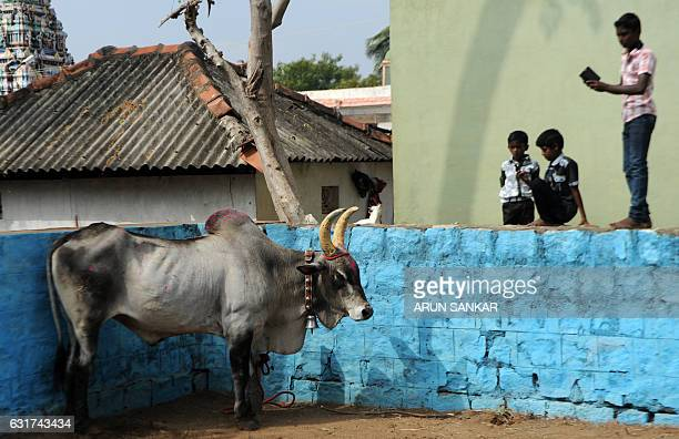 An Indian bull stands in an enclosure ahead of the start of Jallikattu an annual bull fighting ritual on the outskirts of Madurai on January 15 2017...
