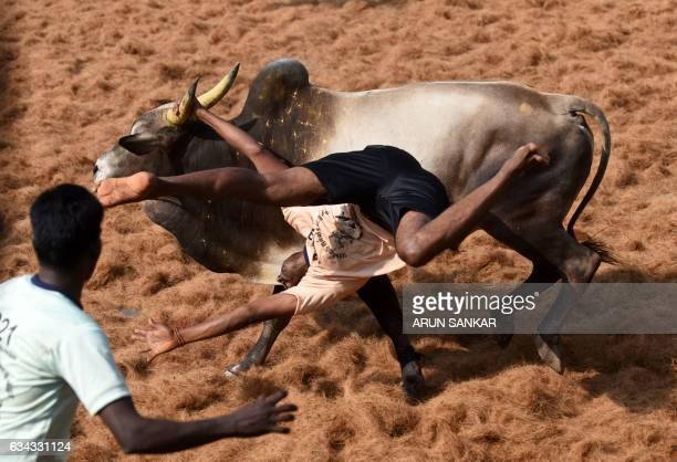TOPSHOT An Indian bull throws a 'bullfighter' during an annual bull taming event 'Jallikattu' in the village of Palamedu on the outskirts of Madurai...