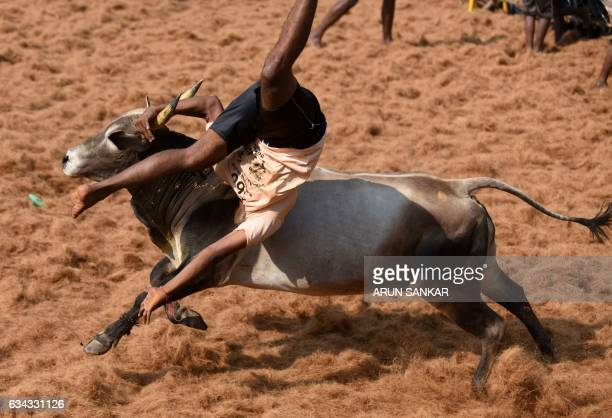 An Indian bull throws a 'bullfighter' during an annual bull taming event 'Jallikattu' in the village of Palamedu on the outskirts of Madurai on...
