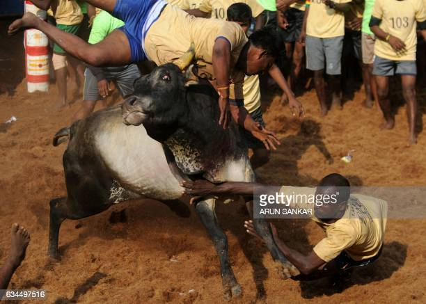 An Indian bull throws men during an annual bull taming event 'Jallikattu' in the village of Allanganallur on the outskirts of Madurai on February 10...