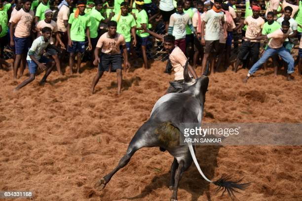 An Indian bull turns to face a crowd of onlookers during an annual bull taming event 'Jallikattu' in the village of Palamedu on the outskirts of...