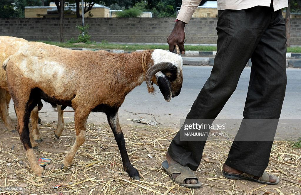 An Indian buyer leads a goat home after purchasing the