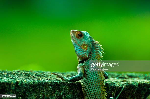 an indian chameleon in kerala, india. - chameleon stock photos and pictures