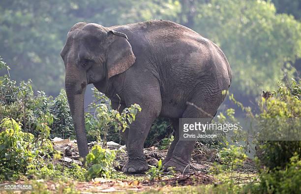 An Indian elephant grazes as Catherine Duchess of Cambridge and Prince William Duke of Cambridge prepare to leave on a safari in Kaziranga National...