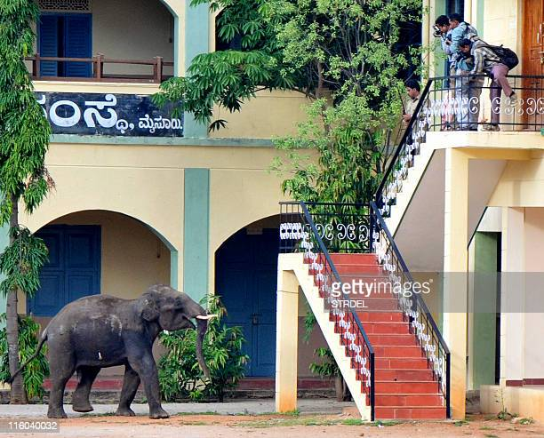An Indian elephant with a tranquiliser dart in its side is watched by bystanders as it walks in a compound in Mysore on June 8 2011 Two wild...