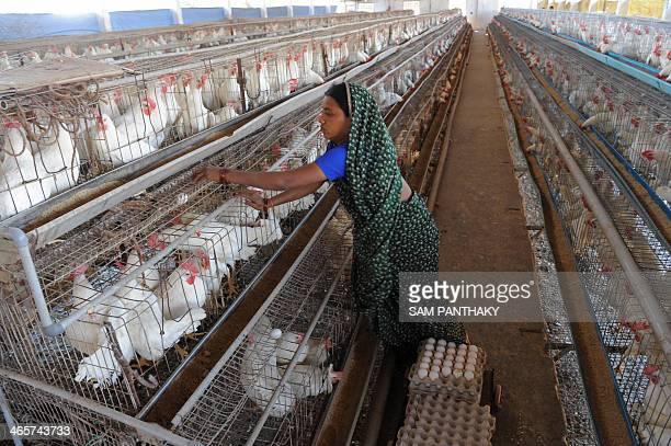 An Indian employee collects eggs at the Seven Star Poultry Farm in Piplaj village around 20 kms from Ahmedabad on January 29 2014 A 75yearold man...