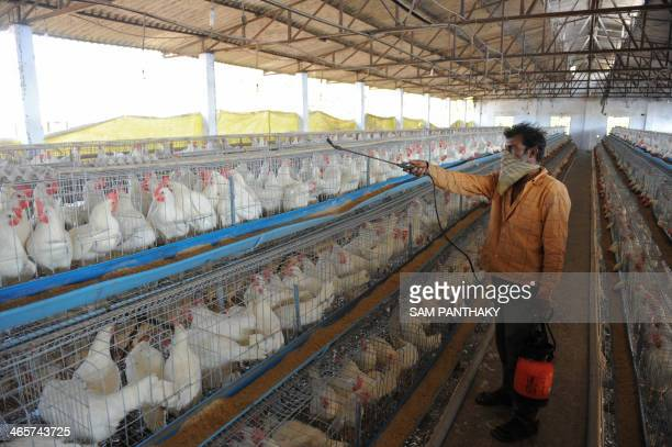 An Indian employee wears a mask as he sprays disinfectant on chickens as a precautionary measure at the Seven Star Poultry Farm in Piplaj village...