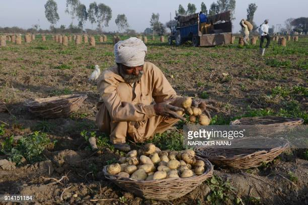 An Indian farm labourer collects potatoes at a field on the outskirts of Amritsar on February 4 2018 / AFP PHOTO / NARINDER NANU