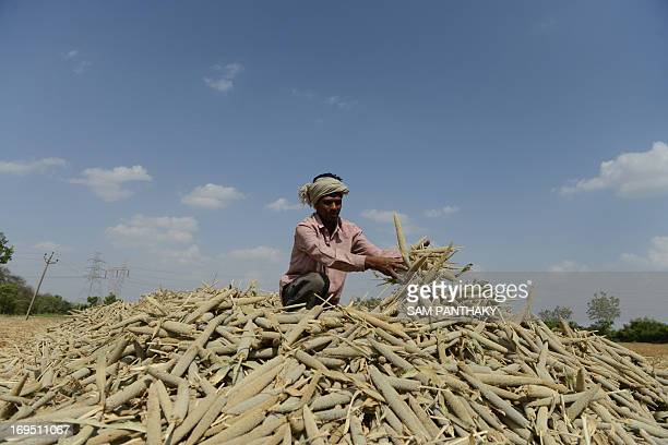 An Indian farm labourer piles millet in a field at Palaiya village of Dehgam Taluka some 50 kms from Ahmedabad on May 26 2013 Indian agriculture...