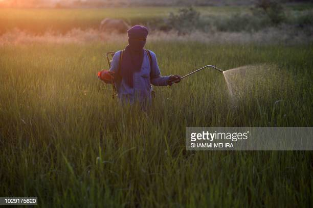 An Indian farm labourer sprays pesticide on a paddy crop on the outskirts of Jalandhar on September 8 2018