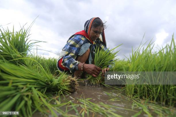 An Indian farm worker collect paddy saplings to plant it in a field on the outskirts of Bhopal on July 3 2018