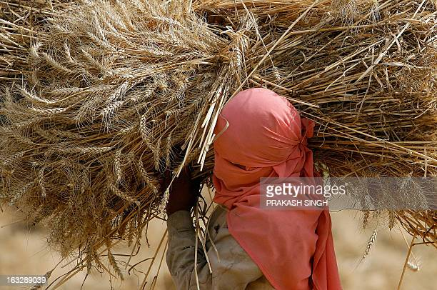 An Indian farmer carries a bundle of wheat in a field in Ghaziabad some 35kms east of New Delhi on April 23 2008 The Indian government has decided to...