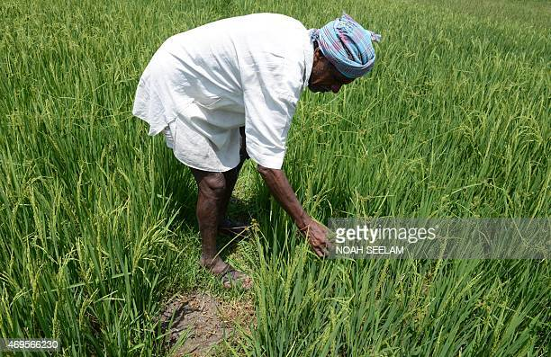 An Indian farmer checks damaged paddy fields following unseasonal overnight rains in Thoopran Mandal in Medak District some 55 kms from Hyderabad on...