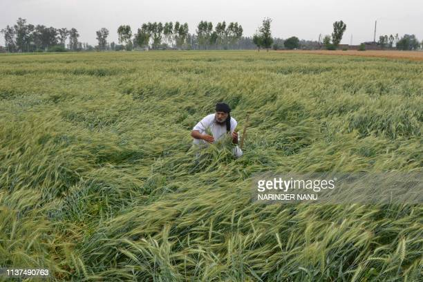 An Indian farmer checks his damaged wheat crop flattened by strong winds and rain on the outskirts of Amritsar on April 16, 2019.
