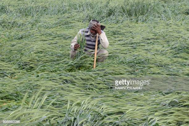 TOPSHOT An Indian farmer checks his wheat crop that was damaged in heavy rain on the outskirts of Amritsar on March 21 2018 / AFP PHOTO / NARINDER...