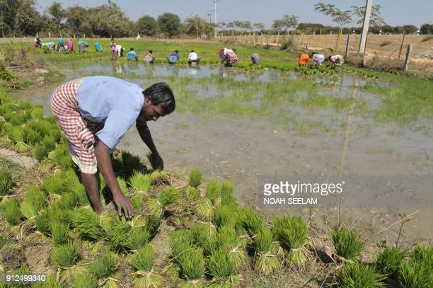 An Indian farmer collects paddy saplings in a field in Medak District some 60km from Hyderabad on January 31 2018 The Indian government is set to...