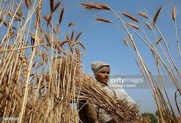 An Indian farmer cuts a crop of wheat from a field in Ghaziabadsome 35kms east of New Delhi on April 23 2008 The Indian government has decided to...