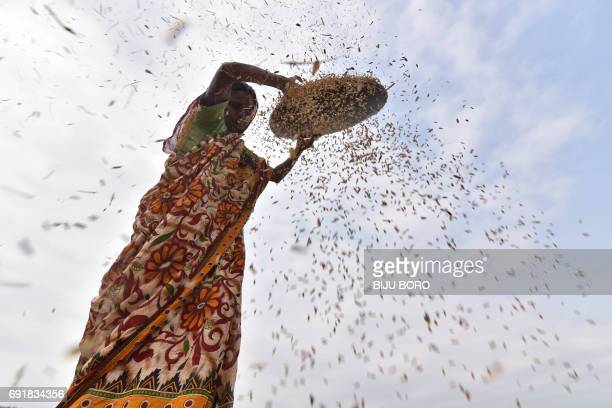 TOPSHOT An Indian farmer dries harvested rice from a paddy field at Burha Mayong village in Morigaon district of Assam state some 45kms away from...