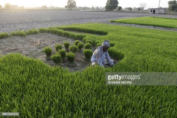An Indian farmer gathers roots of a paddy crop to plants seeds in a field at a village on the outskirts of Jalandhar on June 21 2018