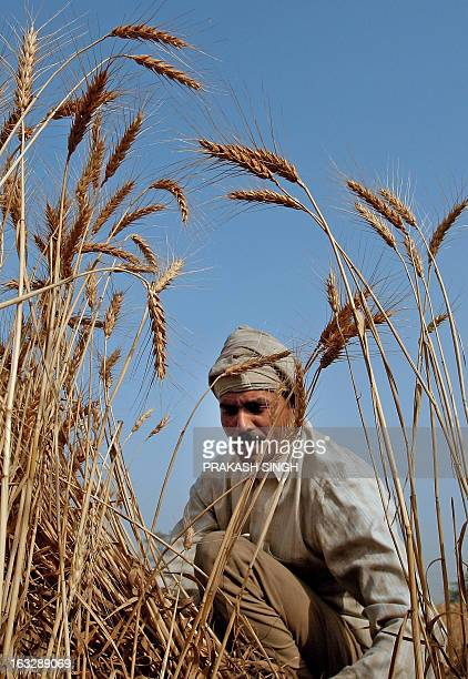 An Indian farmer harvests a crop of wheat from a field in Ghaziabadsome 35kms east of New Delhi on April 23 2008 The Indian government has decided to...