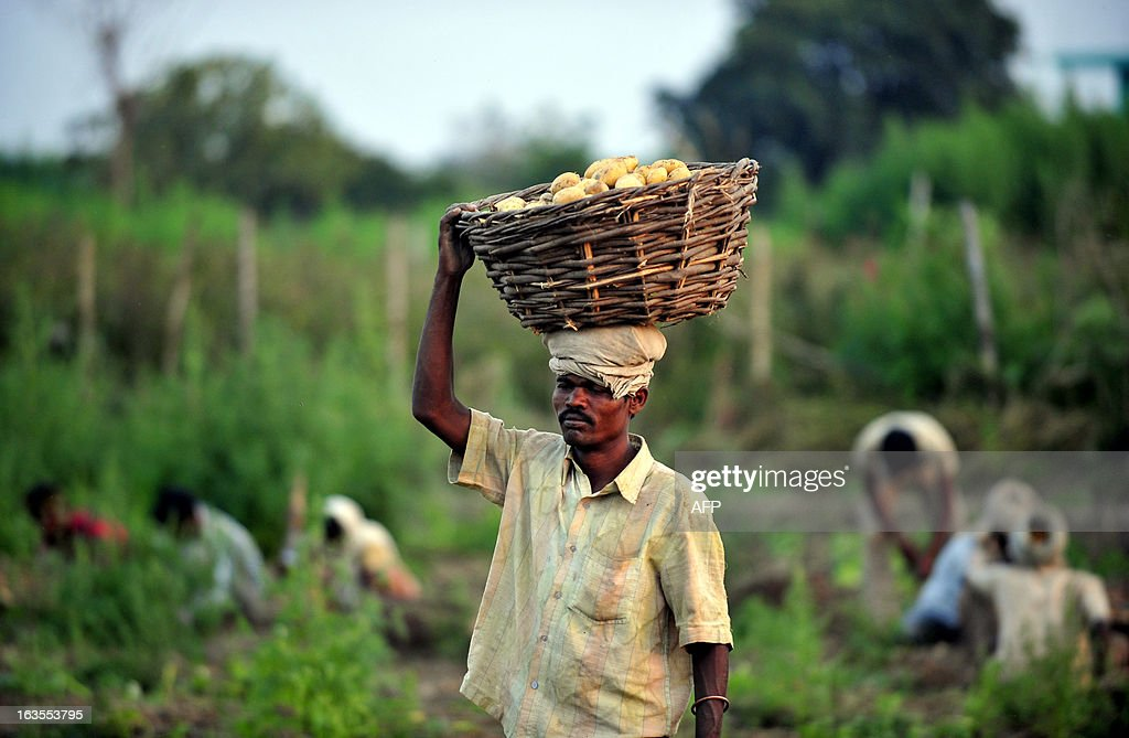 An Indian farmer harvests potatoes at a field at Arial village near Allahabad on March 12, 2013. Agriculture contributes about 15 percent to India's gross domestic product but only 40 percent of farms are irrigated.