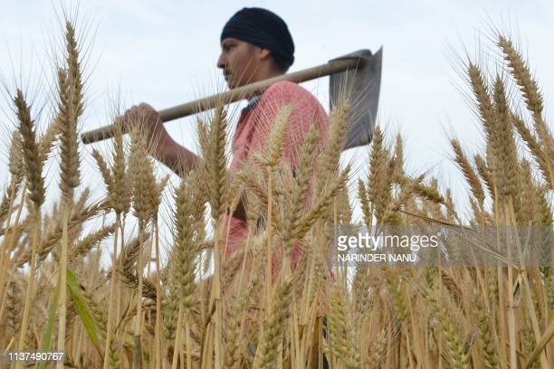 An Indian farmer holds a shovel as he walks through a wheat crop on the outskirts of Amritsar on April 16 2019