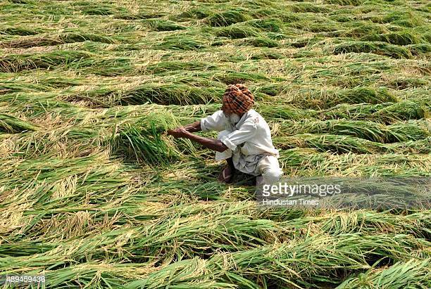 An Indian farmer inspects the paddy crops damaged after heavy rains at village Jatta Kheran on Dakala road on September 21 2015 near Patiala India