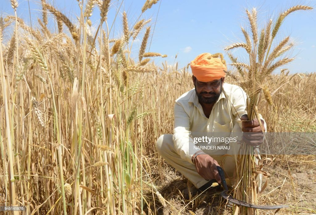 An Indian farmer poses for a photograph as he harvests wheat crops in a field on the outskirts of Amritsar on April 12 2018 / AFP PHOTO / NARINDER...
