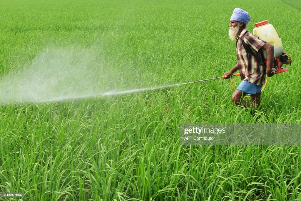 An Indian farmer sprays insecticide onto crops in a paddy field on the outskirts of Amritsar on July 16 2017 / AFP PHOTO / NARINDER NANU