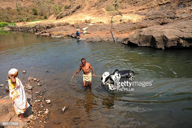 An Indian farmer waters one of his cattle in the village of Purushwadi some 140 miles east of Mumbai on March 14, 2009. Inflation in India has...