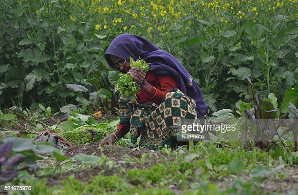 An indian farmer woman works in a mustard farmnear Allahabad on January 202016Some winter showers has finally given a breather to farmers to key rabi...