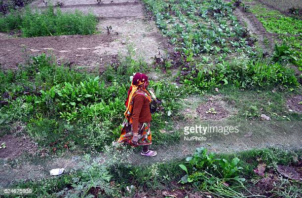 An indian farmer woman works in her farm,near Allahabad on January 20,2016.Some winter showers has finally given a breather to farmers to key rabi...