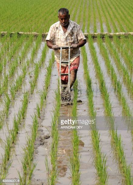 An Indian farmer works in a paddy field in the village of Anandanagar on the outskirts of Agartala on February 16 2017 / AFP / Arindam DEY
