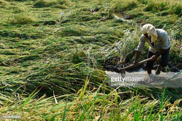 An Indian farmer works in a waterlogged field of damaged Paddy crop at Vautha village some 50 kms from Ahmedabad on October 30 following unseasonal...