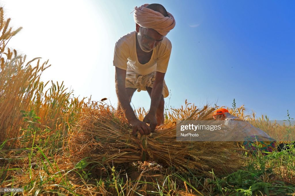 Harvest wheat crops in Jaipur