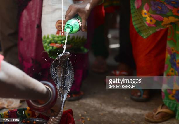 An Indian Hindu devotee pours milk on a snake as an offering during the annual Nag Panchami festival dedicated to the worship of snakes outside the...