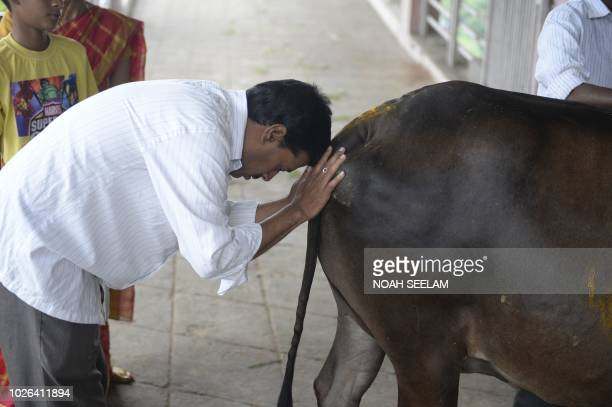 An Indian Hindu devotee worships a cow to celebrate Krishna Janmashtami in Hyderabad on September 3 2018 Hindus consider cows to be holy animals and...