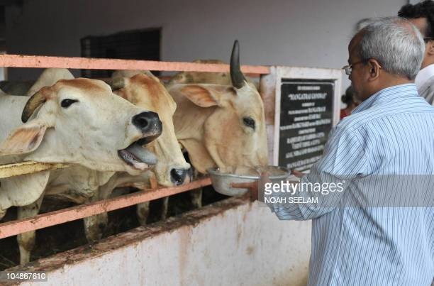 An Indian Hindu man feeds sacred cows at Goshala cow shelter in Hyderabad on October 6 2010 Cows remain a protected animal in Hinduism and are often...