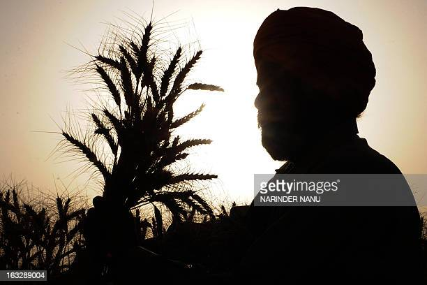 An Indian holds a bushel of wheat in his field after harvest on the outskirts of Amritsar on April 21 2009 Punjab is India's largest wheat producing...