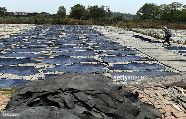 An Indian labourer carries buffalo hides that are laid out to dry in the sun as part of the leather production process on the banks of the river...