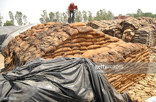 An Indian labourer covers rotting wheat at Khamano village 40 kilometres from Ludhiana on May 19 2012 The Indian government may export 45 million...