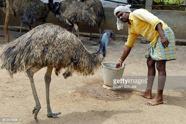 An Indian labourer goes about his work at an Emu farm at Peddavura in the Nalgonda District of the Indian state of Andhra Pradesh some 180 kms from...