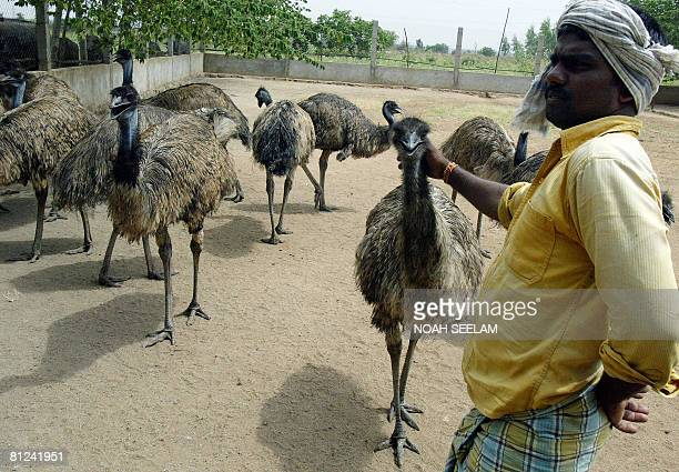 An Indian labourer goes about his work at an Emu farm at Peddavura in the Nalgonda District of the Indian state of Andhra Pradesh, some 180 kms from...