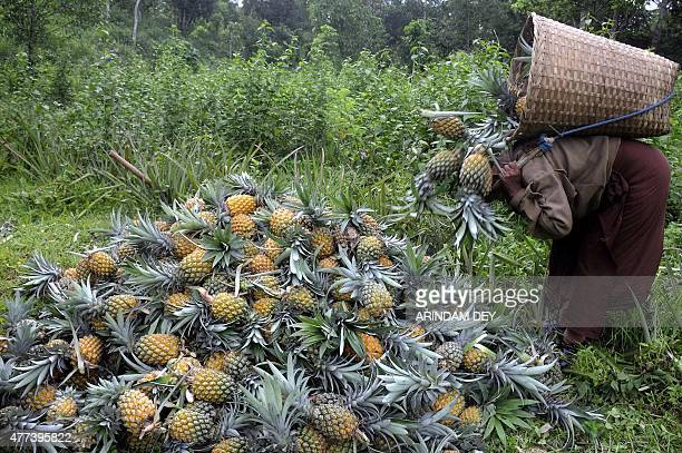 An Indian labourer piles up pineapples after picking them at a farm in Agartala on June 17 2015 Labourers at the pineapple orchard earn 300 rupees a...